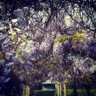 wisteria peckhamryepark flowers