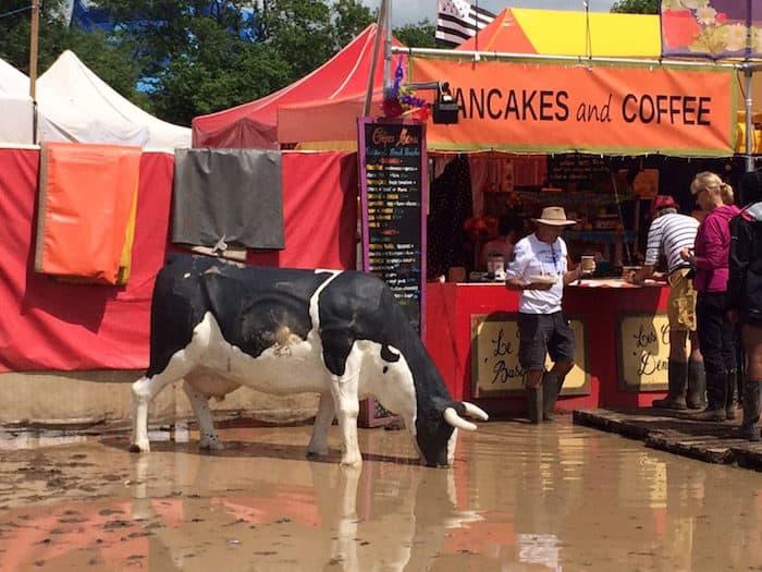 vaca bebendo lama